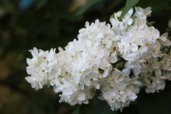 Branch of white blooming lilac in the yard stock images