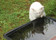 White cat drinking water Stock Photos