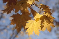 Yellow maple leaves on blue sky background stock images