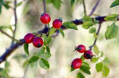 Photo of shrubs of rosehip in the wild on a sunny autumn Royalty Free Stock Photography