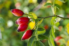 Photo of shrubs of rosehip in the wild on a sunny autumn Royalty Free Stock Photo
