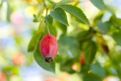 Photo of shrubs of rosehip in the wild on a sunny autumn Stock Photos
