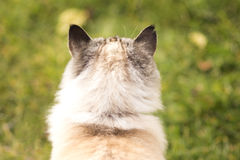 Photo Siamese cat Rear view Royalty Free Stock Photography