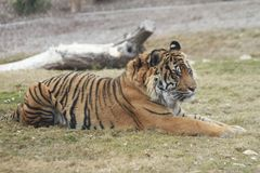 Observant Siberian Tiger in the Phoenix Zoo. This is a photo of a Siberian tiger taken at the Phoenix Zoo in Arizona while I was on vacation February 2017 Stock Image