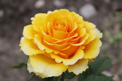 Yellow rose flower on blurred background. Photo of a single big yellow rose flower captured on dark blurred background in the garden stock image