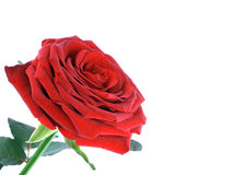 Photo of single red rose isolated over white Royalty Free Stock Photo