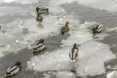 Wild ducks living among ice floes. Winter, cold water, ice. Photo for the site about birds, nature, seasons, the Arctic Royalty Free Stock Photo