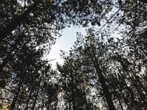 Looking up in the woods royalty free stock photography