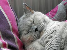Sleepy pedigree cat in the land of nod. Photo of a sleepy pedigree british shorthair cat in the land of nod fast asleep on her favourite cushion stock photography