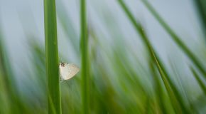 A small white butterfly on a weeds stock image