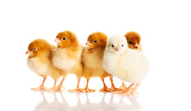 Photo of small cute chickens Stock Photo