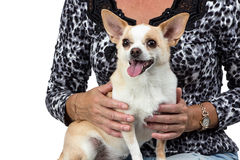 Photo of the small dog sitting on woman's lap. Isolated photo Stock Image