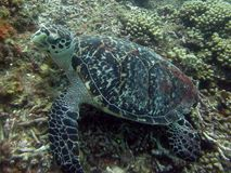 Hawksbill Sea Turtle. This photo of a small Hawksbill Sea Turtle, and was taken while Scuba Diving in Roatan Honduras Stock Photos