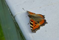 Small tortoiseshell butterfly sitting on the white surface. Photo of a small tortoiseshell butterfly sitting on the white surface royalty free stock photos