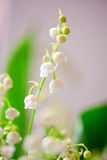 Photo of a small white flower lily of the valley Stock Photo