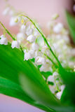 Photo of a small white flower lily of the valley Stock Image
