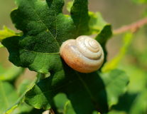 Photo snail on oak leaf Royalty Free Stock Photo
