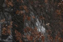 Snow falling on orange autumn leaves. Photo of a snowfall in late autumn. This shows the snow flakes falling near some orange oak leaves left on the tree royalty free stock photo
