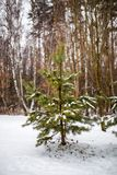 Photo of snowy landscape and fir tree. On winter day Stock Photo