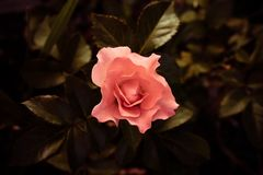 Rose in a vintage day. This photo of a solitary rose button uses an interesting effect of the warm lighting in the background of the image while the flower Stock Photography