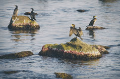Photo of the Some Cormorants at Sea. Photo of Some Cormorants at Sea stock images