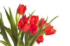 Flowers tulip red bouquet stock photography