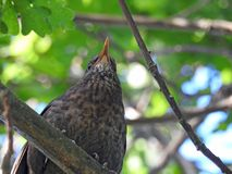 Song thrush bird high in tree top. Photo of a song thrush bird found in a secret location high in a tree in a kent forest june 2018 Stock Photos