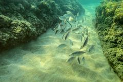 Photo sous-marine, groupe de petits poissons nageant entre les algues c photos stock