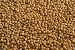 Soybean. The Photo of the soybean stock photo
