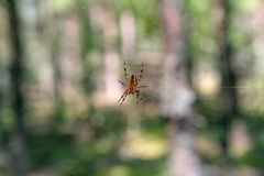A photo of a spider in close-up on a blurry forest background stock photography