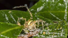 Spider on leaf with raindrops. Photo of Spider on leaf with raindropsn Stock Photos
