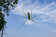 Spider, Nephila Pilipes with blue sky background royalty free stock images