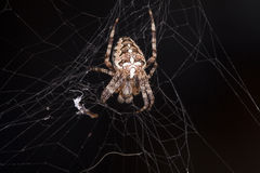 Photo of spider waiting for its prey. Photo of spider, waiting for its prey Royalty Free Stock Images