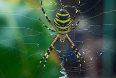 The photo of spider-wasps Royalty Free Stock Photography