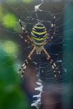 The photo of spider-wasps Stock Photography