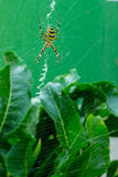 The photo of spider-wasps Stock Photo