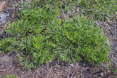 Photo of Spreading Clubmoss Royalty Free Stock Image