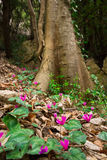 Photo of spring cyclamens. Under a big tree Royalty Free Stock Image