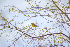 Photo spring mood. Bird on branch with fresh new leaves. Yellow wagtail (Motacilla flava) on verdant birch Stock Photos