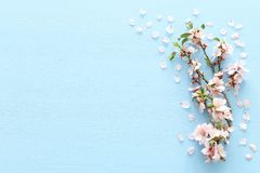 photo of spring white cherry blossom tree on blue wooden background. View from above, flat lay. stock photo