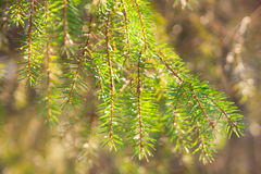 Photo of spruce branches Stock Images
