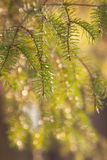 Photo of spruce branches Stock Photography
