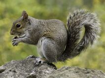 Photo of Squirrel Holding Nut During Daytime Royalty Free Stock Images