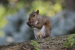 A Squirrel Eating a Nut on a Tree. A photo of a squirrel nibbling a nut on a tree branch Royalty Free Stock Photo