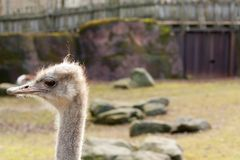 Left staring ostrich royalty free stock photo