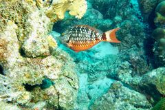 Stop Light Parrot Fish. This photo of Stop Light Parrot Fish was taken while Scuba Diving in Bonaire stock images