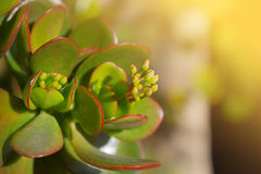 Photo of the succulent crassula background. Dollar plant (crassula portulacea) leaves close up Royalty Free Stock Images
