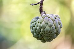 Sugar apple in close up - Annona squamosa. Photo of Sugar apple in close up - Annona squamosa Royalty Free Stock Photography