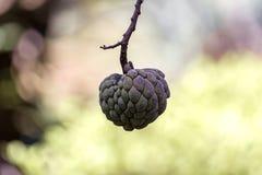 Sugar apple in close up - Annona squamosa. Photo of Sugar apple in close up - Annona squamosa Stock Image