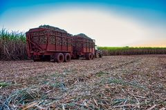 Sugar cane field mechanical harvesting with a tractor carrying harvest royalty free stock images